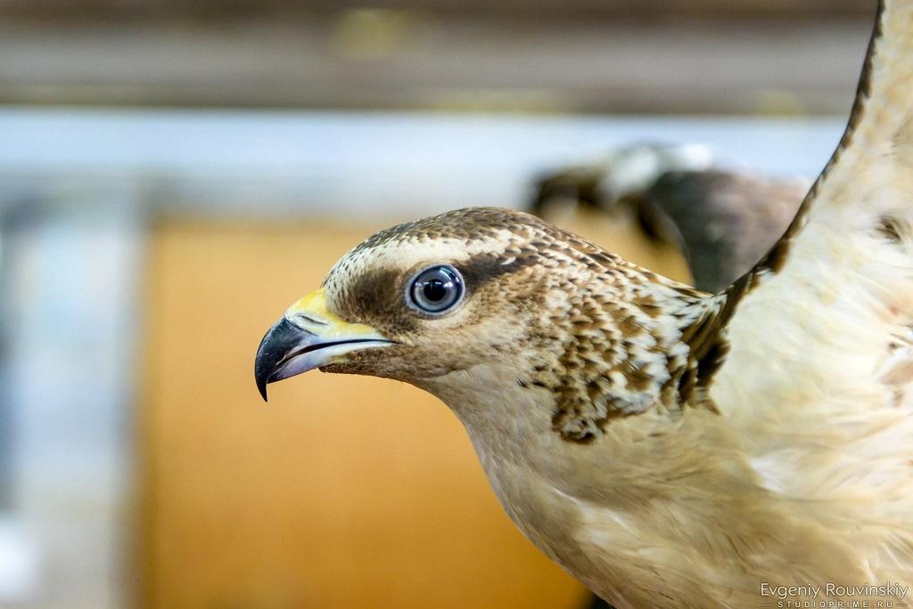 Виркутском контактном зоопарке появился ястреб-осоед
