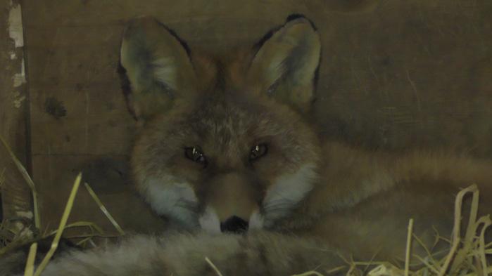 Израненный лис отыскал приют вИркутском детском контактном зоопарке
